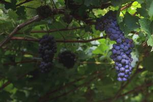 Grapes on the Vine Just before the Harvest by Petra Daisenberger