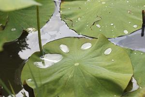 Leaves of Lotus Flowers with Water Droplets, Fascinating Water Plants in the Garden Pond by Petra Daisenberger