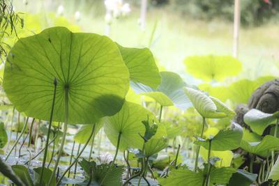 Lotus Blossoms, Fascinating Water Plants in the Garden Pond