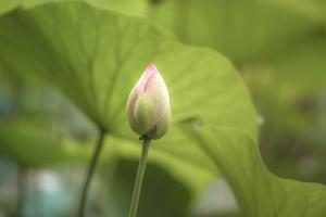Lotus Blossoms, Fascinating Water Plants in the Garden Pond by Petra Daisenberger