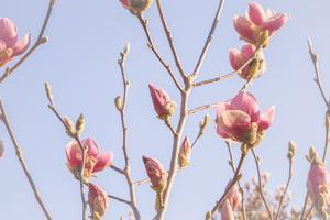 Magnolia Blossoms - Beautyful Blossoms in the Spring by Petra Daisenberger