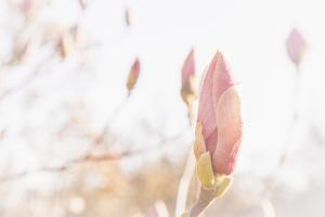 Magnolia Blossoms, Beautyful Blossoms in the Spring by Petra Daisenberger