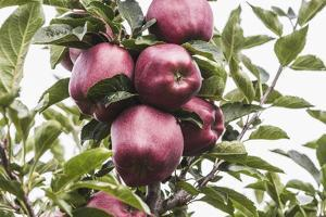 Mellow Apples of the Sort Red Delicious on an Apple Tree, a Backlit Shot by Petra Daisenberger