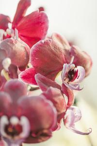 Orchid, Tender Blossoms in Bordeaux, Backlit, Vertically by Petra Daisenberger