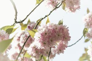 Ornamental Cherry Tree Blossom on a Branch in Full Splendour by Petra Daisenberger