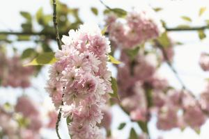 Ornamental Cherry Tree Blossoms in Abundance on a Branch by Petra Daisenberger