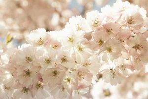 Ornamental Cherry Tree Blossoms in the Spring by Petra Daisenberger