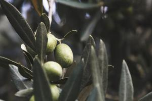 Real Olive Tree Olea Europaea - Detailed Views with Mellow Olives by Petra Daisenberger