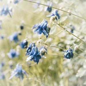 The Blossoms of the Aquilegia Aquilegia by Petra Daisenberger
