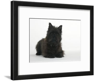 Black Cairn Terrier Lying Down with Head Up