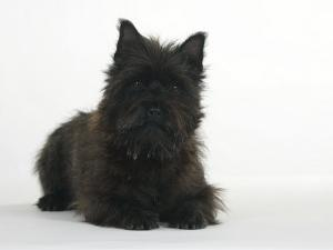 Black Cairn Terrier Lying Down with Head Up by Petra Wegner