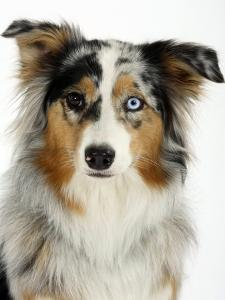 Blue-Merle Australian Shepherd Portrait with Odd Eyes by Petra Wegner