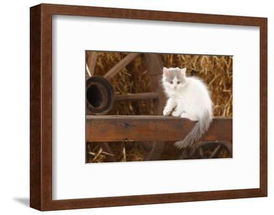 British Longhair, Kitten With Blue-Van Colouration Age 10 Weeks In Barn With Straw