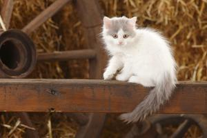 British Longhair, Kitten With Blue-Van Colouration Age 10 Weeks In Barn With Straw by Petra Wegner