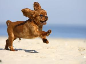 Cavalier King Charles Spaniel, Puppy, 14 Weeks, Ruby, Running on Beach, Jumping, Ears Flapping by Petra Wegner