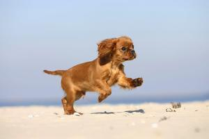 Cavalier King Charles Spaniel, Puppy, 14 Weeks, Ruby, Running on Beach, Jumping by Petra Wegner