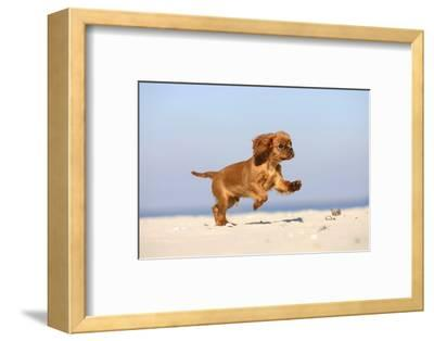Cavalier King Charles Spaniel, Puppy, 14 Weeks, Ruby, Running on Beach, Jumping