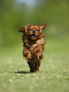 Cavalier King Charles Spaniel, Ruby, 10 Month, Running Fast in Garden by Petra Wegner