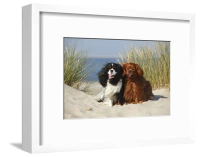 Cavalier King Charles Spaniels With Tricolor And Ruby Colourations On Beach, Texel, Netherlands