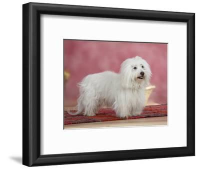 Coton De Tulear Dog Standing on Rug