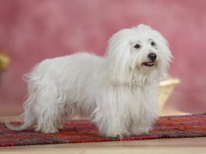 Coton De Tulear Dog Standing on Rug by Petra Wegner