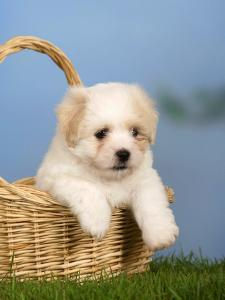Coton De Tulear Puppy, 6 Weeks, in a Basket by Petra Wegner
