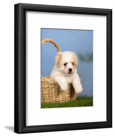 Coton De Tulear Puppy, 6 Weeks, in a Basket