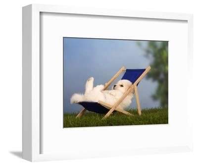 Coton De Tulear Puppy, 6 Weeks, Lying in a Deckchair