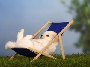 Coton De Tulear Puppy, 6 Weeks, Lying in a Deckchair by Petra Wegner