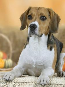 Domestic Dog, Beagle by Petra Wegner
