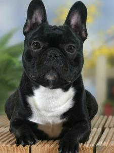 Domestic Dog, French Bulldog by Petra Wegner