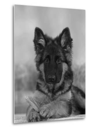 Domestic Dog, German Shepherd Alsatian Juvenile. 5 Months Old, with Rawhide Bone