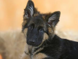 Domestic Dog, German Shepherd Alsatian Juvenile. 5 Months Old by Petra Wegner