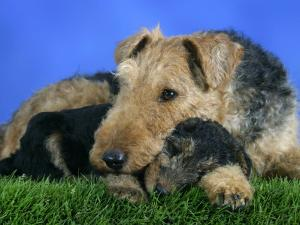 Domestic Dog, Welsh Terrier with Puppy, 7 Weeks by Petra Wegner