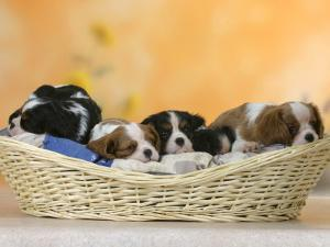 Domestic Dogs, Five Cavalier King Charles Spaniel Puppies, 7 Weeks Old, Sleeping in Basket by Petra Wegner
