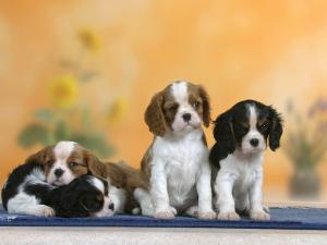Domestic Dogs, Four Cavalier King Charles Spaniel Puppies, 7 Weeks Old, of Different Colours by Petra Wegner