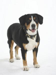 Entlebucher Mountain Dog Standing by Petra Wegner