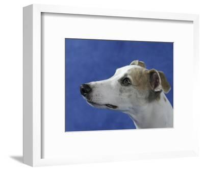 Head of Whippet Dog