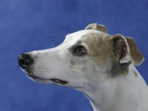 Head of Whippet Dog by Petra Wegner
