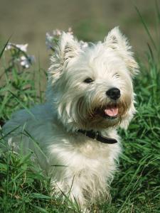 Head Portrait of West Highland White Terrier Dog by Petra Wegner