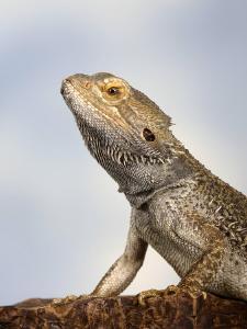 Inland Bearded Dragon Profile, Originally from Australia by Petra Wegner