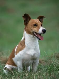Jack Russell Terrier by Petra Wegner
