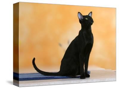 Oriental Shorthair Cat, Black Ebony