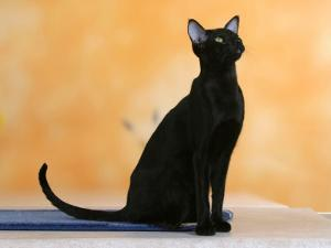 Oriental Shorthair Cat, Black Ebony by Petra Wegner