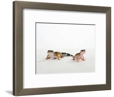 Pair of Leopard Geckos