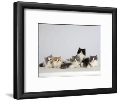 Persian Cat, Five Kittens, Silver-And-White, Black-And-White and Ginger-And-White Sitting in Line