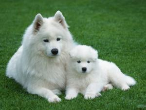 Samoyed with 6 Weeks Old Puppy by Petra Wegner