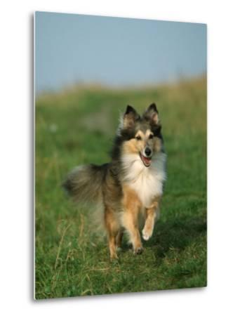 Sheltie / Shetland Sheepdog Running