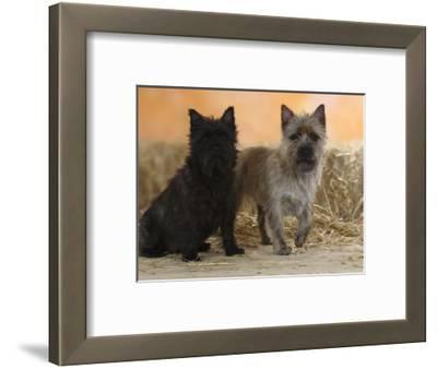 Two Cairn Terriers of Different Coat Colours