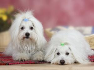 Two Coton De Tulear Dogs Lying on a Rug by Petra Wegner